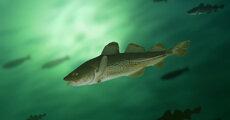Atlantic cod_© Shutterstock  Krasowi_WWF.jpg