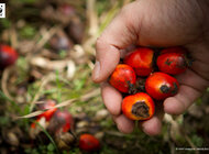 Nowy ranking WWF firm wykorzystujących olej palmowy! Znamy wynik 3 z 15 zapytanych polskich firm.