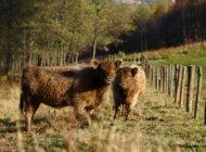 Fundacja Carrefour przekazuje ponad 800 tysięcy złotych na rozwój hodowli bydła ekologicznego w Polsce