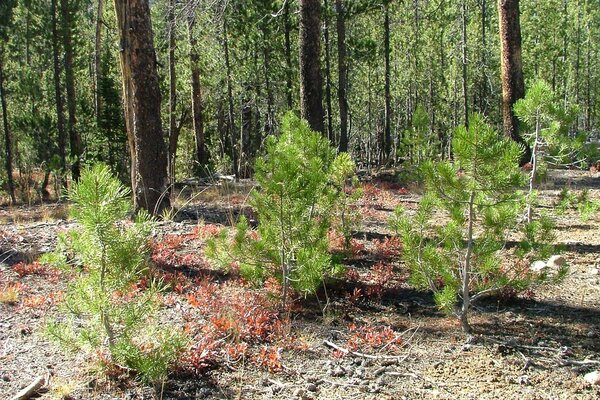KGHM is reforesting LOwer Silesia
