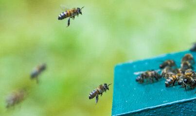 Politechnika Gdańska rozwija badania związane z pszczołami