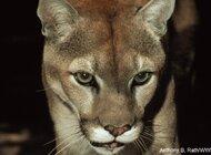 Tygrys, pantera, puma – to nie są zwierzęta domowe