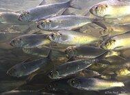 Wielkie wymieranie ryb