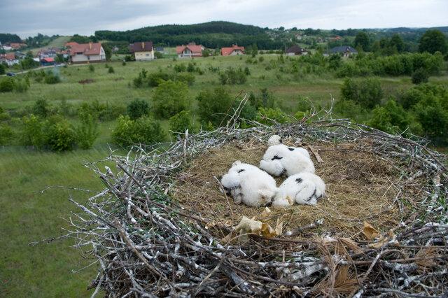ENERGA obrączkuje bociany - 4. edycja akcji Energetyczni Obrączkarze Grupy ENERGA