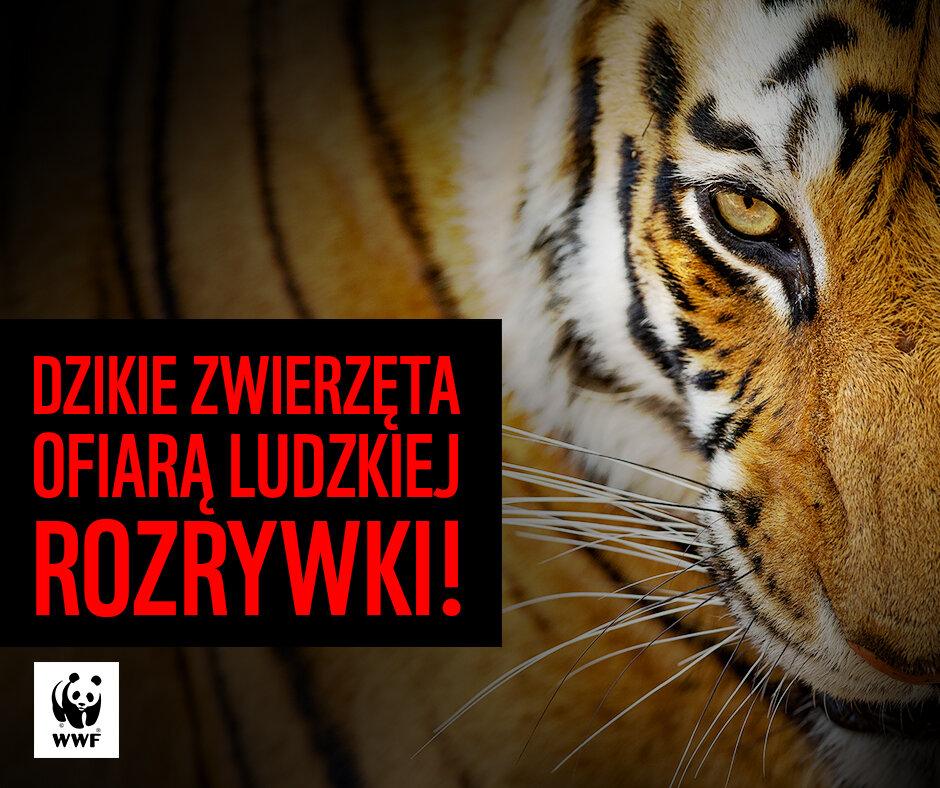 ratujmy-tygrysy-3.jpg