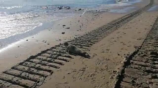 Jak NIE należy się zachować w przypadku spotkania foki na plaży.