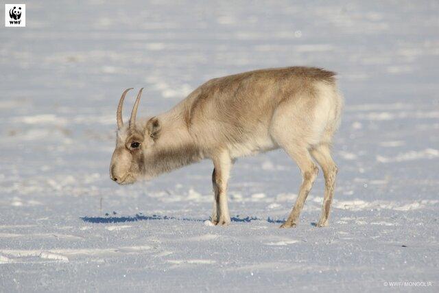 5(C)WWF-Mongolia (1).JPG