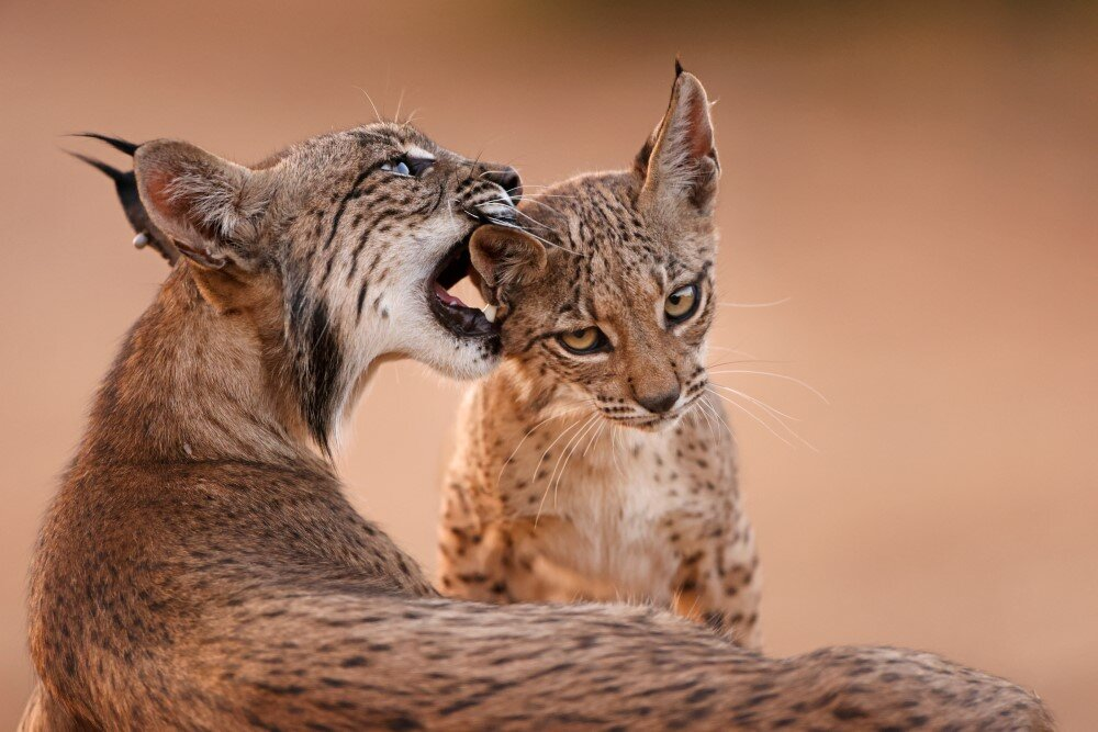WWF Polska Rysie Iberyjskie