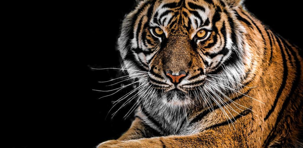 Tygrysi wizerunek w biznesie