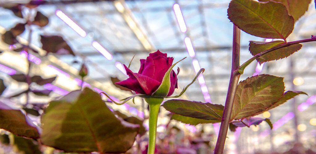 Wpływ światła na uprawę roślin w szklarniach