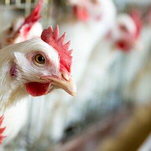 Ochrona hodowli przed salmonellą i przegrzaniem